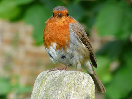 Robin red Stock Photo - 4252643
