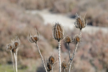 dry flowers in the desert in camargue, France south photo