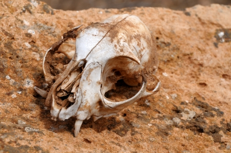 Squirrel's skull abandoned in the desert in Lanzarote, Spain photo