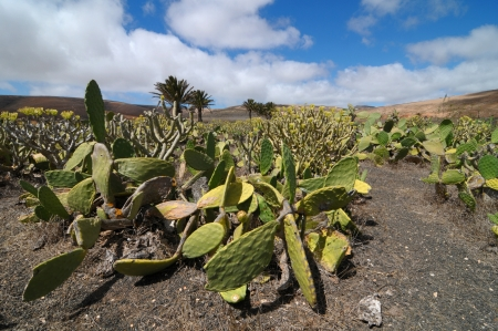 Cactus field on a cloudy sky, in Lanzarote, spain