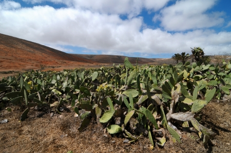 Cactus field on a cloudy sky, in Lanzarote, spain photo
