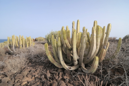 Succulent Cactus Plant  In the Desert, in Canary Islands, Spain photo