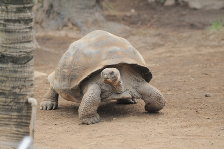 Very Big Brown Tortoise on a Brown Floor photo
