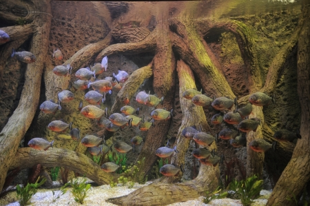 Some Orange Piranhas into the Hot Tropical Water photo