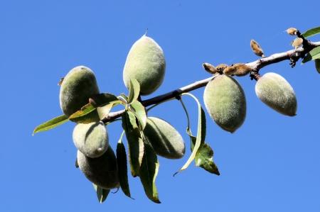 pruneau: Vert Prune m�r sur une branche d'un arbre