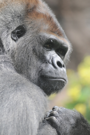 One Adult Black Gorilla near Some Yellow Flowers photo