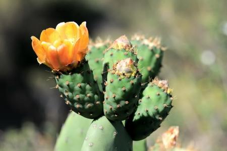 Oranje Bloem op de top van een groene cactus in de woestijn Stockfoto
