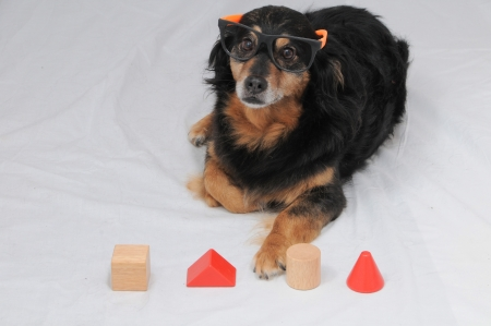 disassemble: One Old Female Black Dog Doing an IQ Test Stock Photo