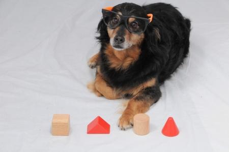 iq: One Old Female Black Dog Doing an IQ Test Stock Photo
