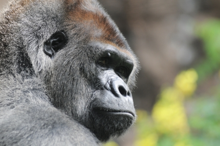 One Adult Black Gorilla near Some Yellow Flowers Stockfoto