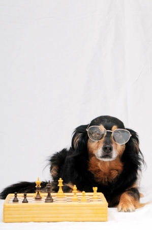 One Smart Black Dog Playing Chess on a White  Background Stock Photo - 22614604