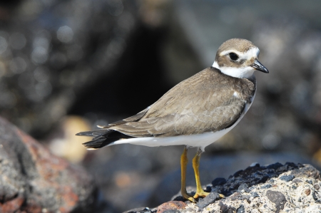 One Adult Kentish Plover Water Bird near a Rock Beach photo