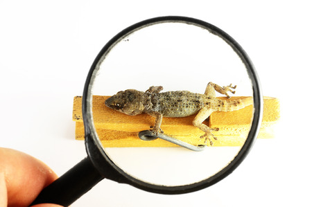 One Small Gecko Lizard and Loupe on a White Background photo
