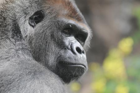 One Adult Black Gorilla near Some Yellow Flowers 스톡 콘텐츠