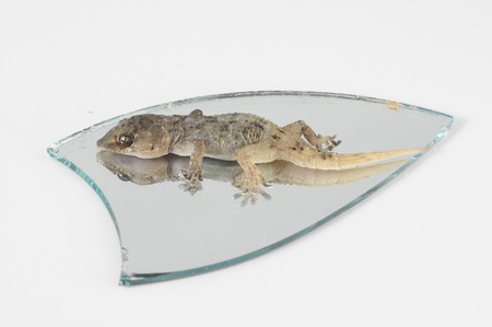 One Small Gecko Lizard and Mirror on a White Background photo