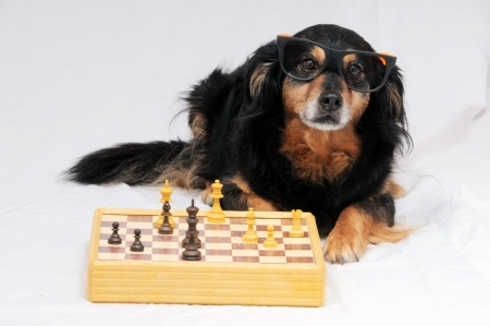 One Smart Black Dog Playing Chess on a White  Background Stock Photo - 23103377