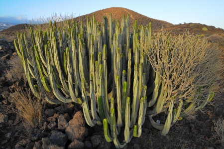 Succulent Plant Cactus on the Dry Desert at Sunset Stock Photo