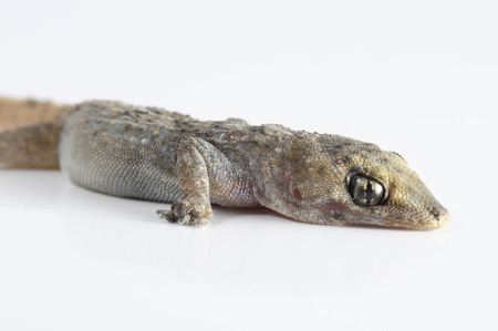 Small Gray Gecko Lizard on a White Background photo