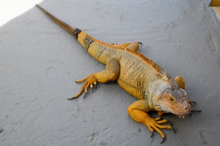 Colored Young Male Iguana Lizard on a Gray Surface Stock Photo - 24746735