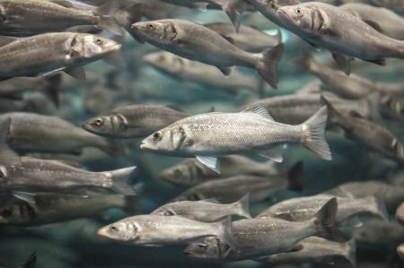 Underwater School of Silver Gray Fish in Aquarium