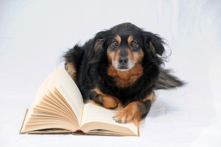 One intelligent Black Dog Reading a Book on White  photo