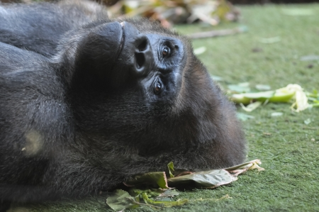 Strong Adult Black Gorilla on the Green Floor photo