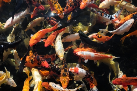 Many Colored Koi Carps in a Dark Pond Stock Photo - 25227630