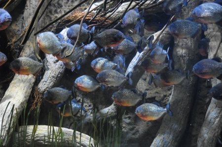 pirana: Underwater Fishes in a Blue Tropical Acquarium Stock Photo