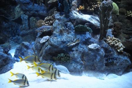 acquarium: Underwater Fishes in a Blue Tropical Acquarium Stock Photo