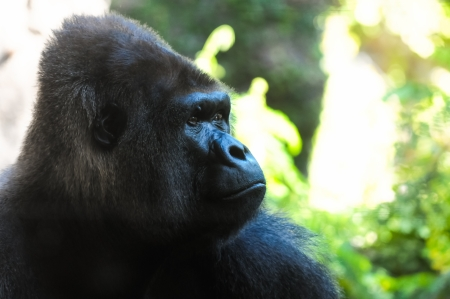 simian: Strong Adult Black Gorilla Stock Photo