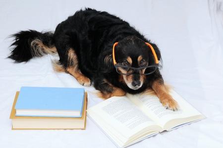 One intelligent Black Dog Reading Book on a White  photo