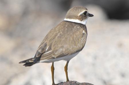 charadriiformes: One Adult Kentish Plover Water Bird near a Rock Beach
