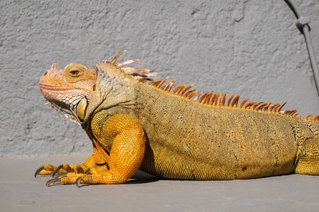 Colored Young Male Iguana Lizard on a Gray Surface photo