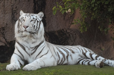 Rare Black and White Striped Adult Tiger photo