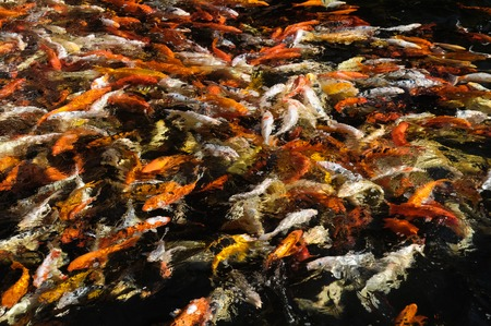 Many Colored Koi Carps in a Dark Pond photo