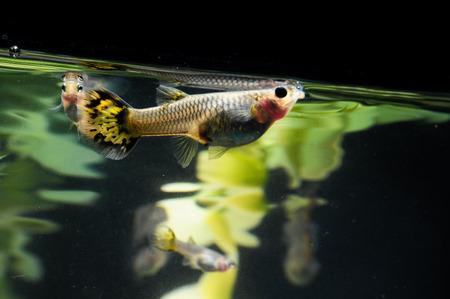 Guppy Multi Colored Fish in a Tropical Acquarium Stock Photo - 25711913