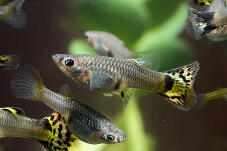 Guppy Multi Colored Fish in a Tropical Acquarium Stock Photo - 25689529