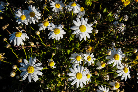 Some Fresh Yellow and White Camomilla Daisy Flowers photo