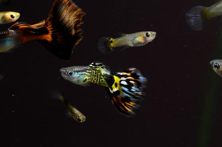 Guppy Multi Colored Fish in a Tropical Acquarium Stock Photo - 25763323