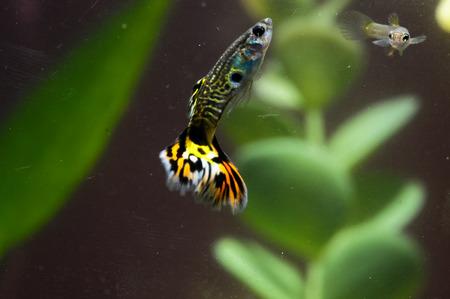 Guppy Multi Colored Fish in a Tropical Acquarium Stock Photo - 25763418