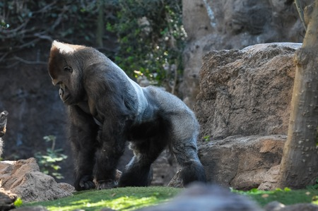 Strong Adult Black Gorilla on the Green Floor Imagens - 25769780
