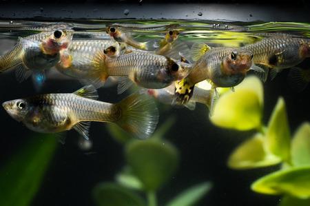 tropical acquarium: Guppy Multi Colored Fish in a Tropical Acquarium