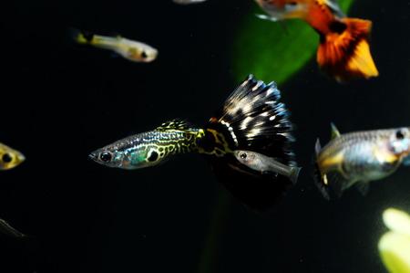 Guppy Multi Colored Fish in a Tropical Acquarium Stock Photo - 25986957