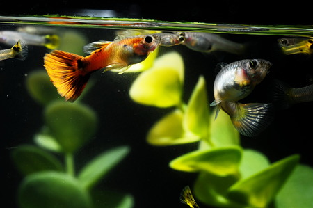 Guppy Multi Colored Fish in a Tropical Acquarium Stock Photo - 25987036