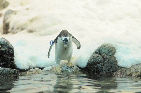 Black and White Colored Penguin in a Cold Place photo
