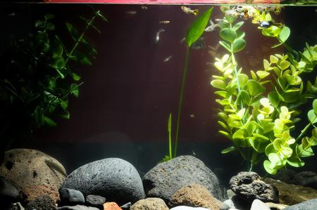 acquariofilia: Guppy Multi Colored Fish in a Tropical Acquarium