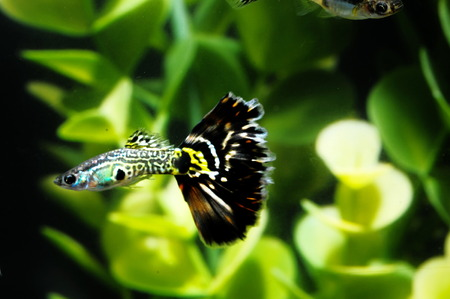 Guppy Multi Colored Fish in a Tropical Acquarium Stock Photo - 26057232