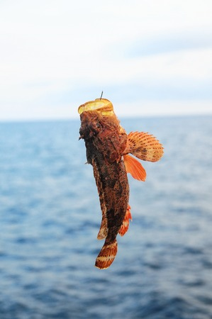 stonefish: One Red Rock Sea Fish Hooked over the Blue Atlantic Ocean