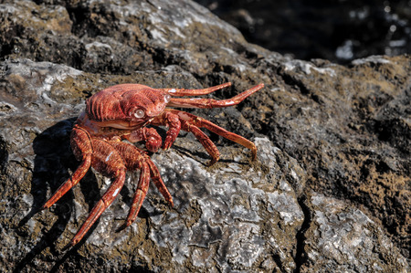 Orange Crab on Volcanic Rocks near the Atlantic Ocean photo