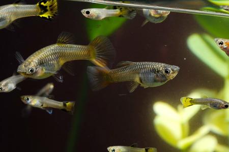 Guppy Multi Colored Fish in a Tropical Acquarium Stock Photo - 26121700